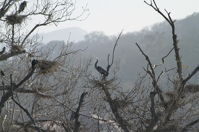 Little Blue Heron (Egretta caerulea). Shadow Cliff Regional Park - Pleasanton, CA, USA