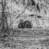 Brush Rabbit (Sylvilagus bachmani). Shadow Cliffs Regional Park - Pleasanton, CA, USA