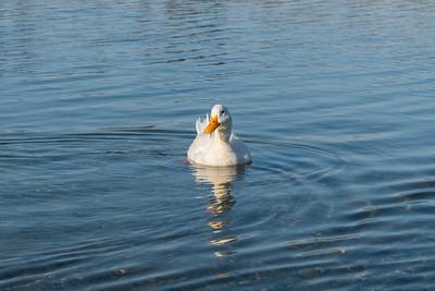 Mallard Duck (Anas platyrhynchos). Shadow Cliffs Regional Park - Pleasanton, CA, USA