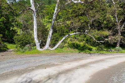 W-Tree. Ohlone Road. Sunol Regional Wilderness - Sunol, CA, USA