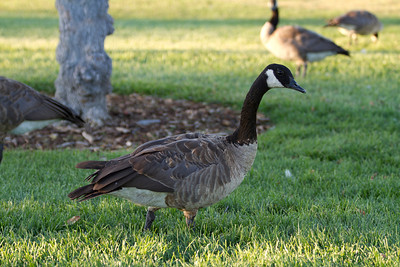 Canada Geese (Branta canadensis). Fremont Central Park - Fremont, CA, USA