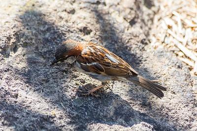 House Sparrow (Passer domesticus). Fremont Central Park - Fremont, CA, USA