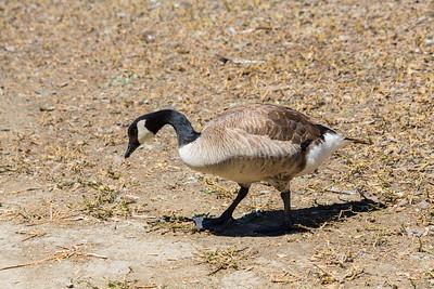 Canada Goose (Branta canadensis).  Fremont Central Park - Fremont, CA, USA