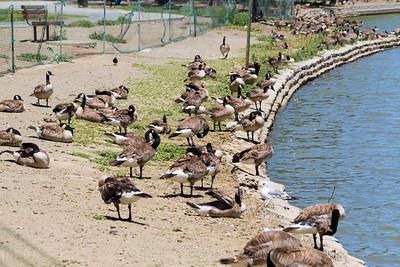 Canada Goose (Branta canadensis). Lake Elizabeth/Fremont Central Park - Fremont, CA, USA
