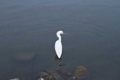 Snowy Egret (Egretta thula). Lake Elizabeth/Fremont Central Park - Fremont, CA, USA