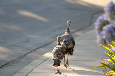 Turkeys. Up on mountains in the Warm Springs Area - Fremont, CA, USA