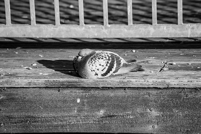Rock Pigeon (Columba livia). Fremont Central Park - Fremont, CA, USA