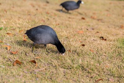 American Coot (Fulica americana). Fremont Central Park - Fremont, CA, USA