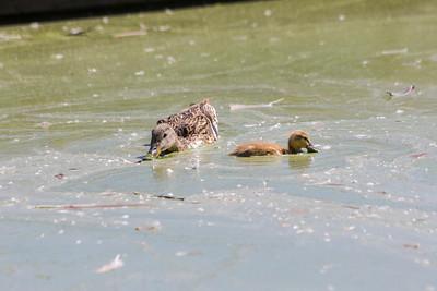 Mallard Duck (Anas platyrhynchos). Lake Elizabeth/Fremont Central Park - Fremont, CA, USA