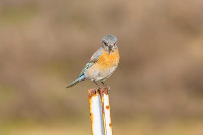 Western Bluebird (Sialia mexicana). Fremont Central Park - Fremont, CA, USA