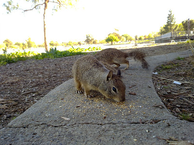 Squirrel. Fremont Central Park - Fremont, CA, USA