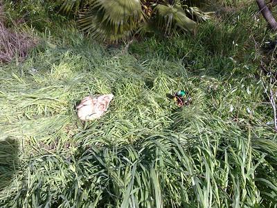 Mallard Duck (Anas platyrhynchos). Fremont Central Park - Fremont, CA, USA