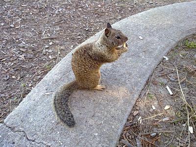 Squirrel. Fremont Central Park - Fremont, CA, USA