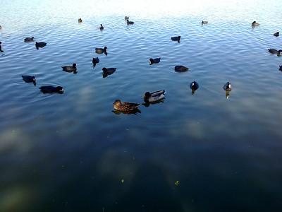 Mallard Duck (Anas platyrhynchos) and American Coot (Fulica americana). Lake Elizabeth/Fremont Central Park - Fremont, CA, USA