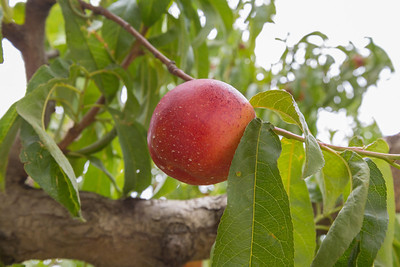 Peach. Fruit Picking Trip - Brentwood, CA, USA