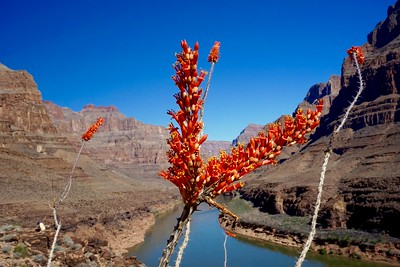 Grand Canyon's Flowers