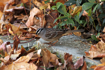 White-crowned Sparrow (Zonotrichia leucophys)