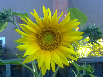 Sunflower in my backyard