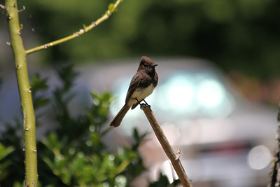 Black Phoebe (Sayornis nigricans)