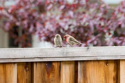Male (right). Female (left). House Finch (Carpodacus mexicanus)