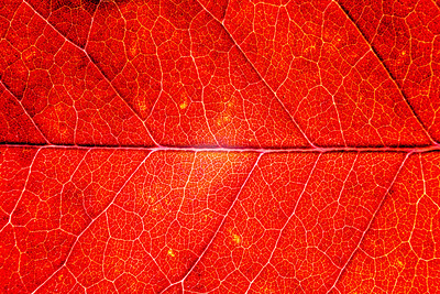 Abstract Process. Autumn Leaf Macro