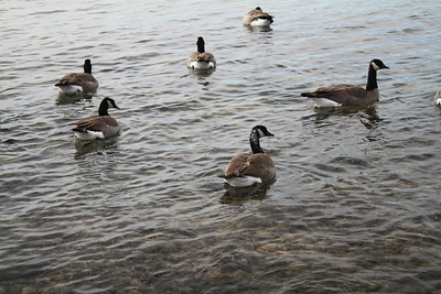 Canada Geese (Branta canadensis). Lake Tahoe. Kings Beach, CA, USA