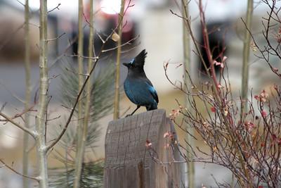 Steller's Jay (Cyanocitta stelleri). Lake Tahoe, CA/ NV, USA