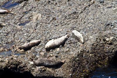 Sea Lions. Point Lobos State Reserve - Big Sur, CA, USA