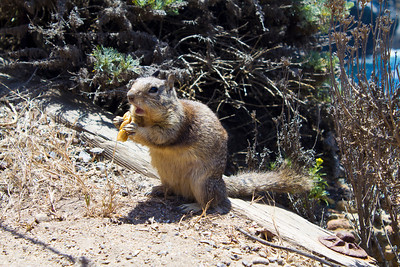 Squirrel. Point Lobos State Reserve - Big Sur, CA, USA