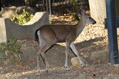 Mule Deer (Odocoileus hemionus). Mount Diablo State Park - California, USA