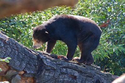Sun Bear (Helarctos malayanus). Oakland Zoo - Oakland, CA, USA