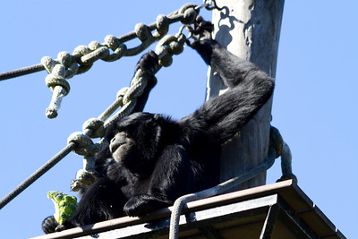 Siamang (Symphalangus syndactylus). Oakland Zoo - Oakland, CA, USA