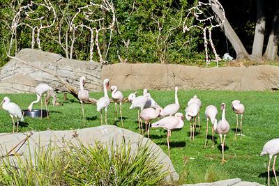 Lesser Flamingo (Phoenicopterus minor) and African Spoonbill (Platalea alba). Oakland Zoo - Oakland, CA, USA