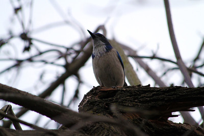 Western Scrub Jay (Aphelocoma californica). Arroyo Del Valle Trail - Pleasanton, CA, USA