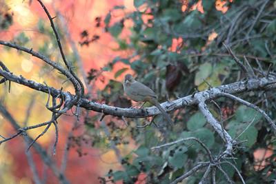 California Towhee (Melozone crissalis). Arroyo Del Valle Trail - Pleasanton, CA, USA