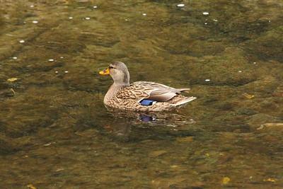 Mallard Duck (Anas platyrhynchos). Arroyo Del Valle Trail - Pleasanton, CA, USA