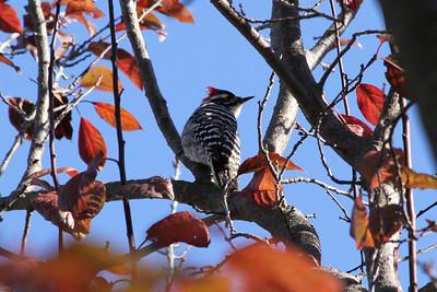 Nuttall's Woodpecker (Picoides nuttallii). Arroyo Del Valle Trail - Pleasanton, CA, USA