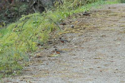 American Robin (Turdus migratorius). Arroyo Del Valle Trail - Pleasanton, CA, USA