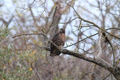 Red Tailed Hawk (Buteo jamaicensis). Arroyo Del Valle Trail - Pleasanton, CA, USA