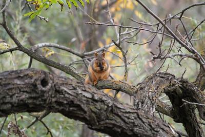 Squirrel. Arroyo Del Valle Trail - Pleasanton, CA, USA