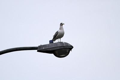 Seagull. Arroyo Del Valle Trail - Pleasanton, CA, USA