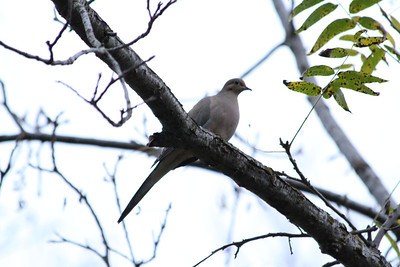 Mourning Dove (Zenaida macroura). Arroyo Del Valle Trail - Pleasanton, CA, USA