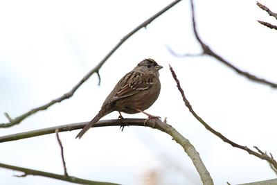 Gold-crowned Sparrow (Zonotrichia atricapilla). Arroyo Del Valle Trail - Pleasanton, CA, USA