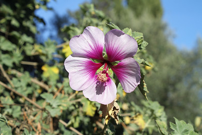 Flower. Arroyo Del Valle Trail - Pleasanton, CA, USA