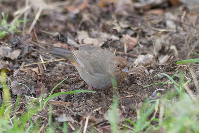 California Towhee (Melozone crissalis). Arroyo Del Valley Trail - Pleasanton, CA, USA