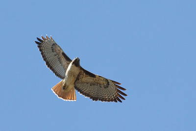 Red-tailed Hawk (Buteo jamaicensis). Arroyo Del Valley Trail - Pleasanton, CA, USA