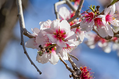 Peach Blossoms. Arroyo Del Valley Trail - Pleasanton, CA, USA