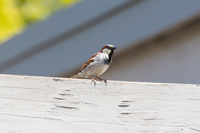Male House Sparrow (Passer domesticus). Pleasanton, CA, USA