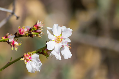 Peach Blossoms. Arroyo Del Valle Trail - Pleasanton, CA, USA