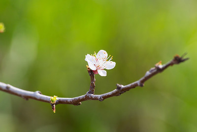 Peach Blossom. Arroyo Del Valle Trail - Pleasanton, CA, USA